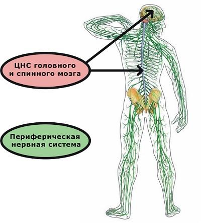 Организация нервной системы