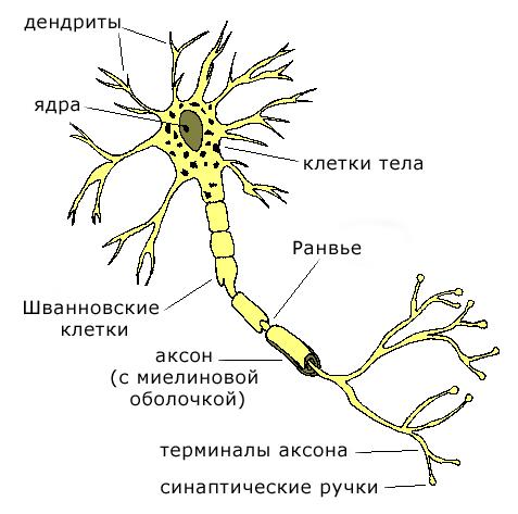 Организация нейрона