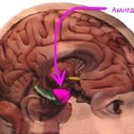 Укрощение амигдалы и другие инструменты тренировки мозга