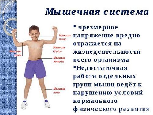 Мышечная система детей