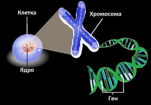 Гены и хромосомы